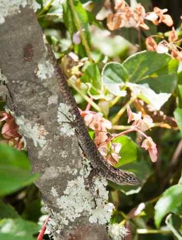 Stenocercus sp.