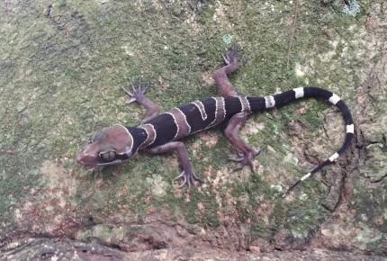 Cyrtodactylus australotitiwangsaensis